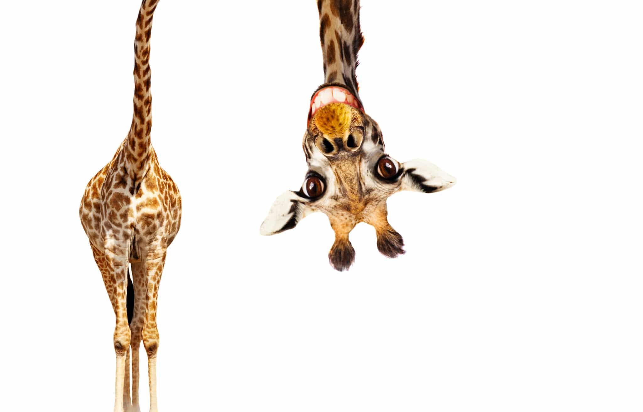 girafe prestashop soledis